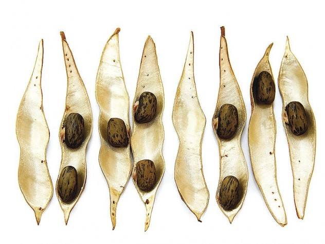 Seedpods of <i>Wisteria frutescens</i> (dispersed ballistically)