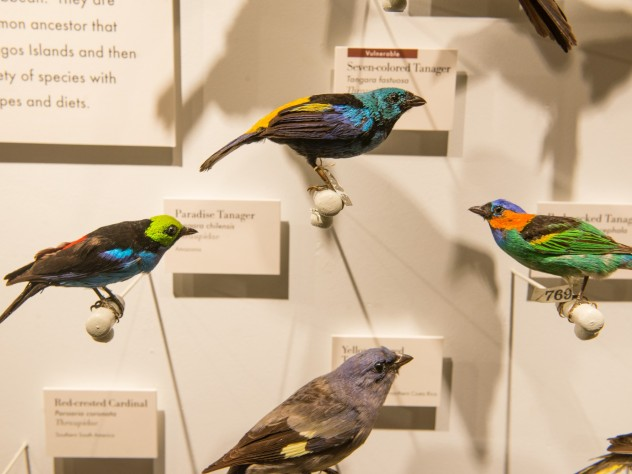A selection of tanagers