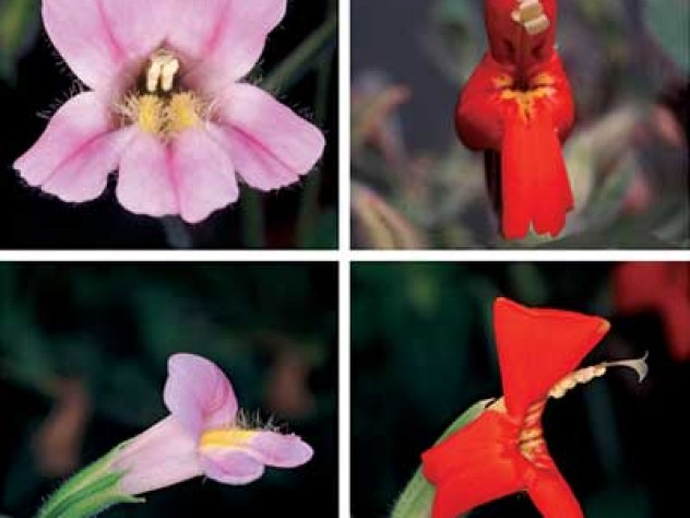 One form of the Rocky Mountain monkey flower has a long trumpet suited to pollination by hummingbirds; the other is pollinated by bumblebees. Their hybrid offspring don't do well in the wild, however, because they are not easily fertilized by the birds or the bees.