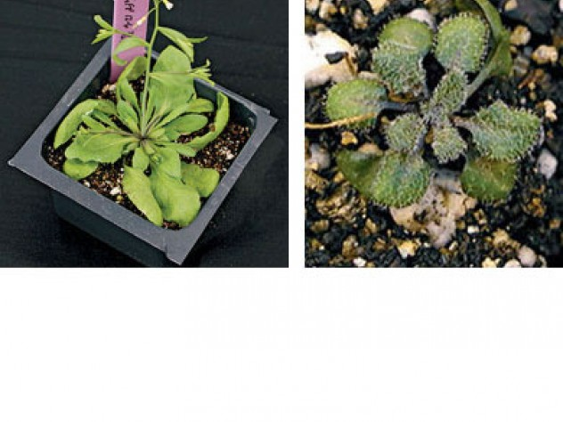 Inhibiting a &ldquo;protein chaperone&rdquo; in the cress plant, <em>Arabadopsis thaliana, </em>mimics the effect of an environmental stress, revealing the hidden variation in the plant's genome. On the left, the unmodified control plant; on the right, a mutant reveals succulent-like characteristics.