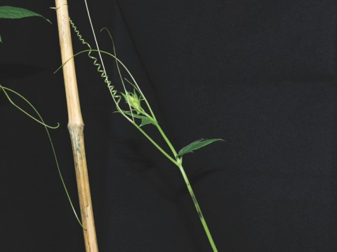 Grasping cucumber tendrils coil in two different directions. Close study led to the discovery of a new type of spring.