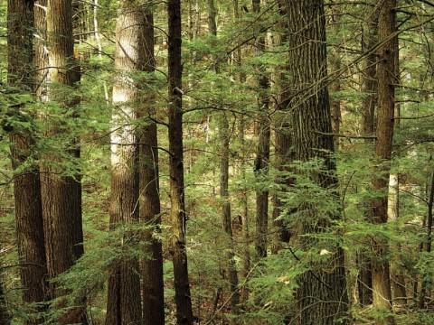 Eastern hemlocks at Harvard Forest's Slab City wildland