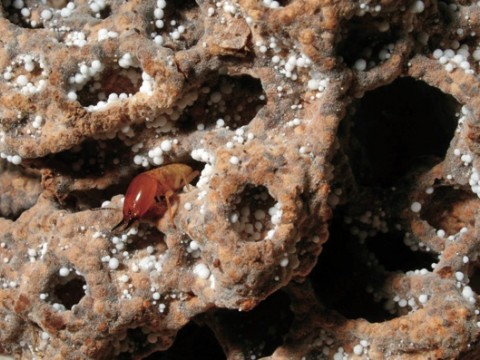 Termites like this soldier, patrolling a piece of fungal comb, aerate and improve the soil near their mounds.