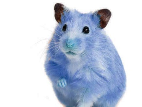 Photograph of a pet hamster, dyed Yale blue, for a humor piece about Yale admissions