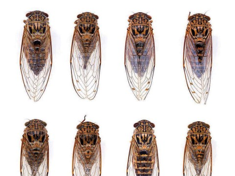 Specimen cicadas, a photograph of Harvard museum collections