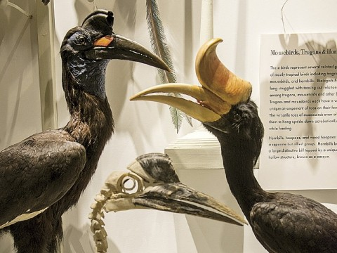 Hornbills, including the Malaysian state bird, <i>Buceros rhinoceros</i> (right)