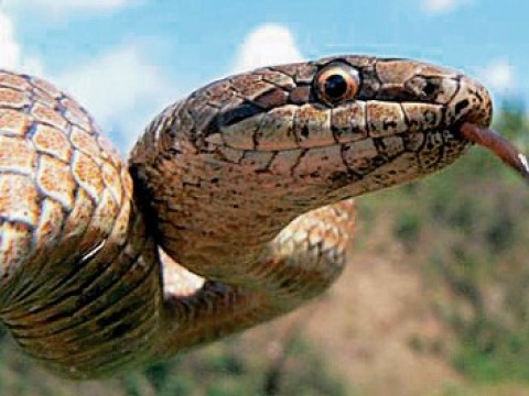 Images from the Encyclopedia of Life include these examples. James Hanken plans to allow amateur ecologists to upload their own photographs to the catalog. Above, a smooth snake (<em>Coronella austriaca</em>)